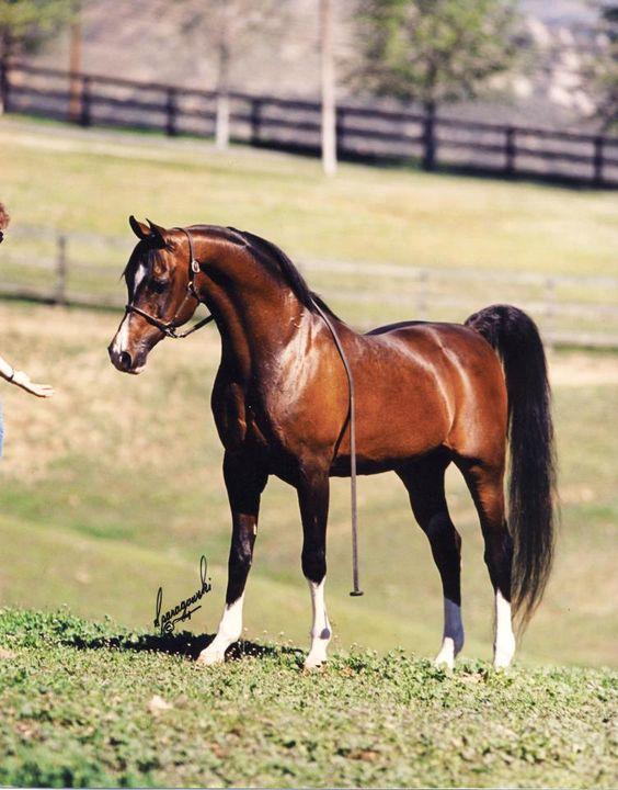 """Uno de los sementales Árabes más queridos Khemosabi, refiere a menudo como """"Caballo del pueblo"""" 1.265 potros deseados, que lo convierte en el poseedor del título por haber engendrado más potros que cualquier vida del caballo en los últimos 20 años."""