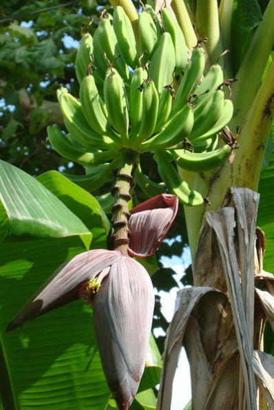 Grand Naine Banana - Musa 'Grand Naine'