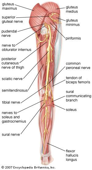 leg: muscles of human leg; posterior view | Encyclopedia ...