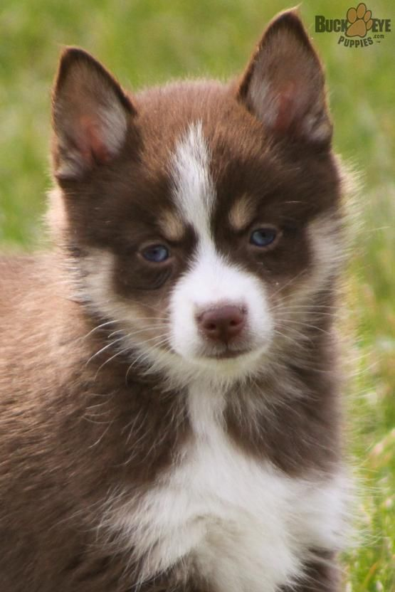 Willow Pomsky Puppy For Sale In Goshen In Buckeye Puppies Pomsky Puppies Pomsky Puppies For Sale Puppies For Sale