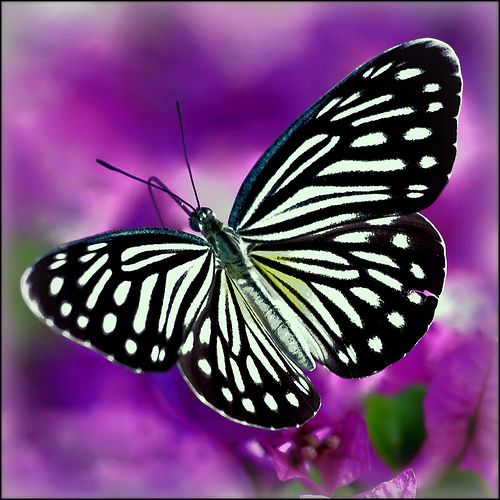 Flickr Search: Butterfly   Flickr - Photo Sharing!