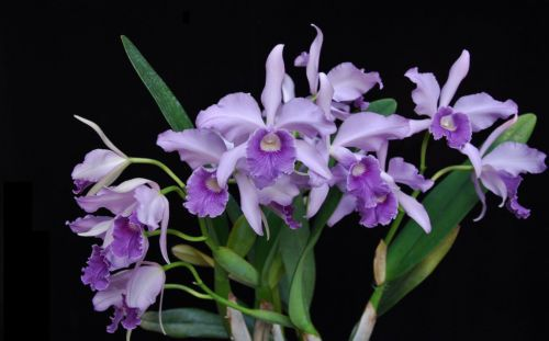 Cattleya Canhamiana Orchid Orchids Flores Azul Blueflower Blueflowers Blueorchid Blueorchids Beautiful Orchids Beautiful Flowers Orchid Flower