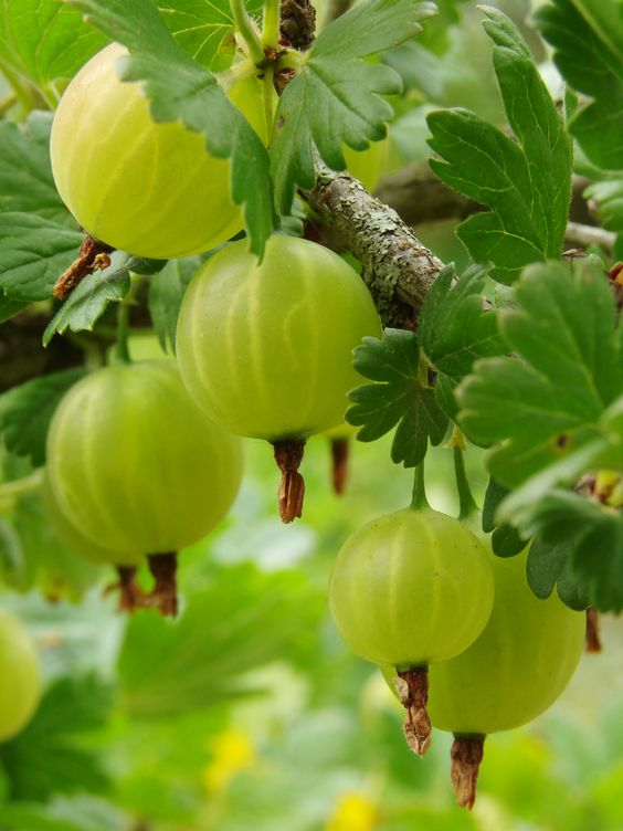 Gooseberry Plant-  Light green berries turn pink when ripe. Fruit is juicy and tart if not fully ripe. Great for pies and preserves. Bush great as ornamental with glossy leaves that turn purple in fall. Grows 4-6' tall and can be used as hedge. Ripens late may. Zones 3-8 - See more at: http://store.isons.com/berry-plants/other-berries/gooseberry#sthash.HCqjOHWx.dpuf