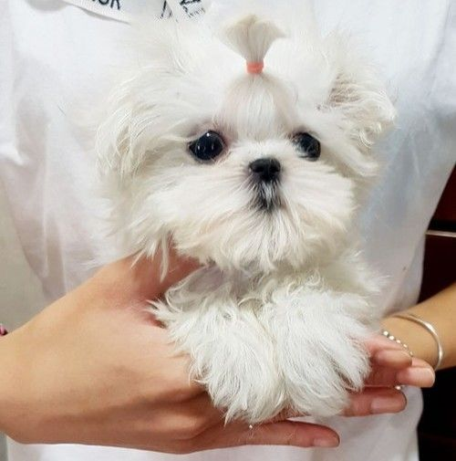 Maltese Puppies For Sale Stamford Ct In 2020 Maltese Puppies For Sale