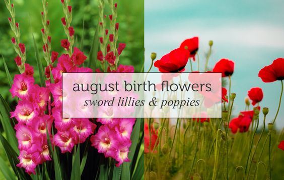 Birthflower august sword lillies and poppies the gladiolus or birthflower august sword lillies and poppies the gladiolus or sword lily is the main birth flower for august and represents remembrance calm mightylinksfo
