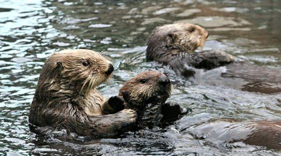 sea otters at Seattle Aquarium