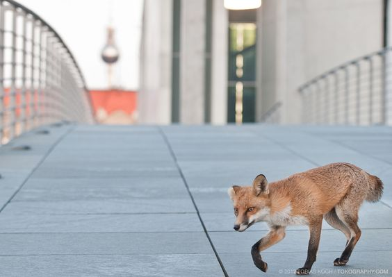 Fuchs in Berlin