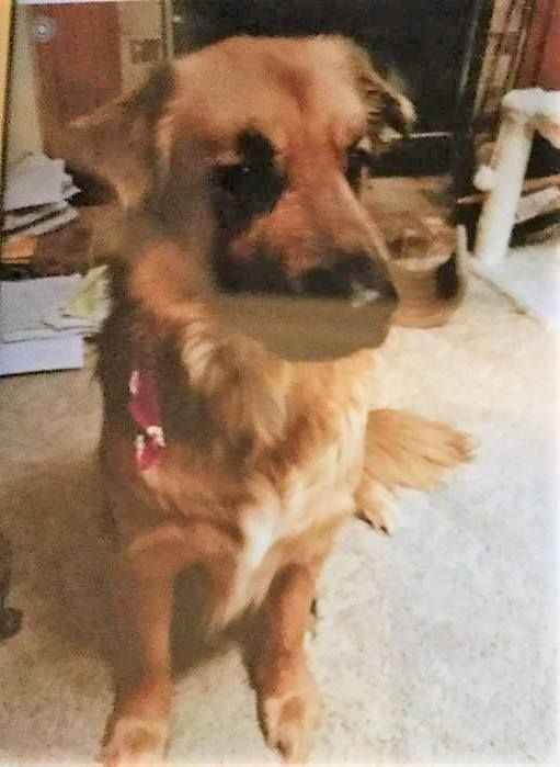 Lost Dog Chanhassen Anatolian Shepherd Golden Retriever Mix