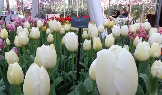 white tulipa
