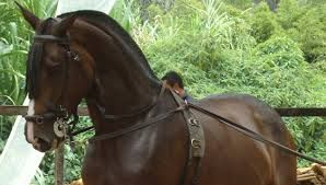 Resultado de imagen de caballos portugueses