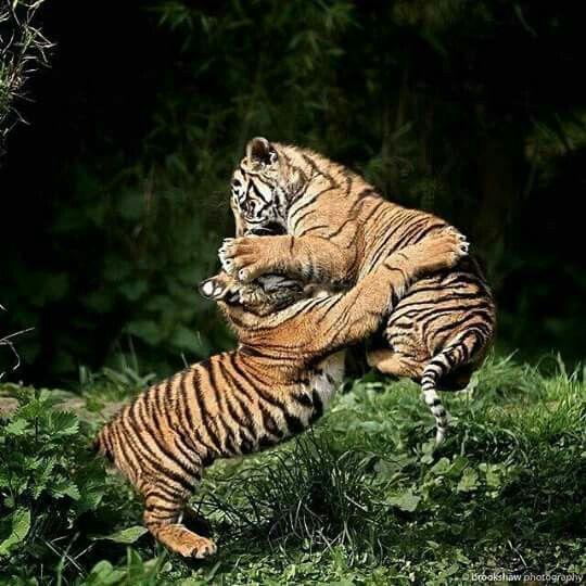 Tigers cub