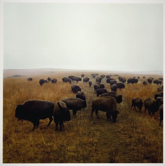 Terry Evans / Bison at Maxwell Game Preserve, Roxbury, Kansas 1981