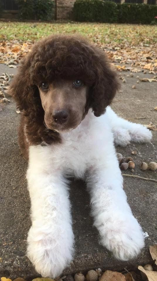 Find Out More On The Very Smart Poodle Puppies And Kids Poodlelove Standardpoodlepuppy Poodle Puppy Poodle Puppy Standard Poodle Dog
