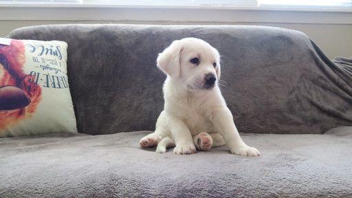 Litter Of 6 Labrador Retriever Mix Puppies For Sale In Fords Nj Adn 59697 On Puppyfinder Com Gende Puppies For Sale Labrador Retriever Labrador Retriever Mix