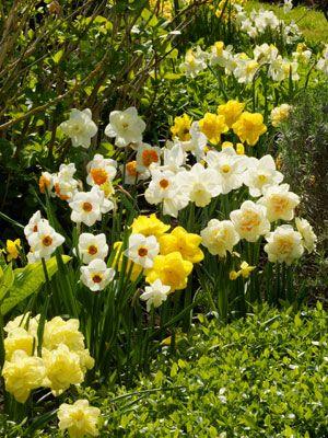 Bulbes de printemps au jardin : narcisses à l'honneur (Scènes de jardins)