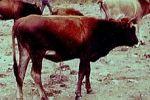 CORSE es una raza bovina francesa.  Poseen una buena resistencia al calor, facilidad de pato y son buenas madres.  Son de color pardo, trigo y gris.  Son de tamaño pequeño; las vacas miden 115 cm y pesan 280 kg, los toros 120 cm y pesan 350 kg.