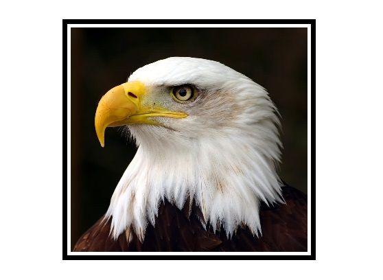 Celebrate the Day ~ January 14 ~ Bald Eagle Day