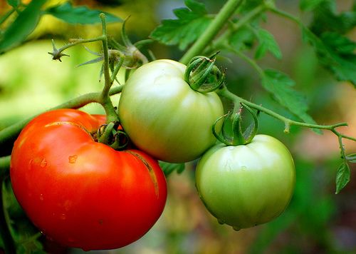 How to Start Tomato Plants from Cuttings - root over the winter, plant in the spring