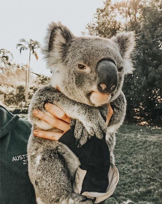 Coolgirlvibezz Pinterest Susse Tiere Sweet Koala Coolgirlvibezz Susse Pinterest Coolgirlvibezz Susse Tiere Susse Tiere Tiere Babytiere