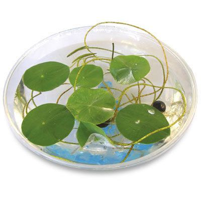 Grow your own lily pads