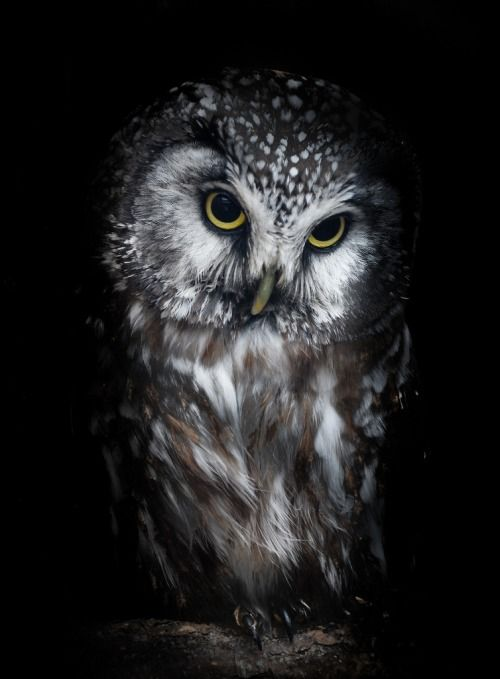 "Owl: ""That Certain Look..."""