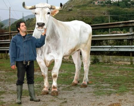 chianina cattle italy barnyard cattle pinterest