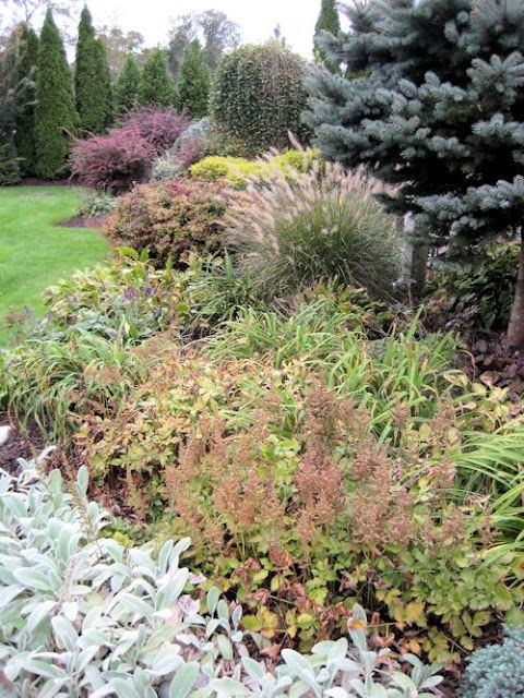 Gardens glow and blue spruce on pinterest for Blue fountain grass