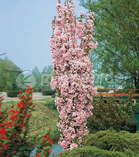 Prunus small gardens and cherries on pinterest for Nice small trees