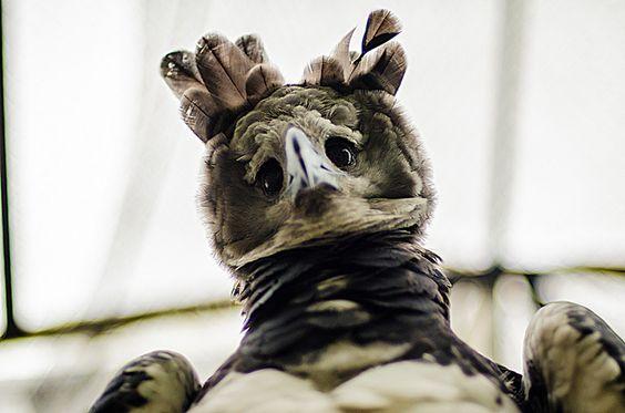Aguila arpía (esta es una de las 9 que solo quedan en el mundo) by lichoperez, via Flickr