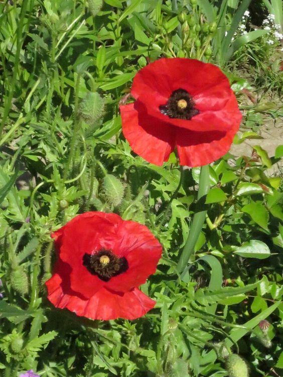 Wild poppys in the garden shaining bright