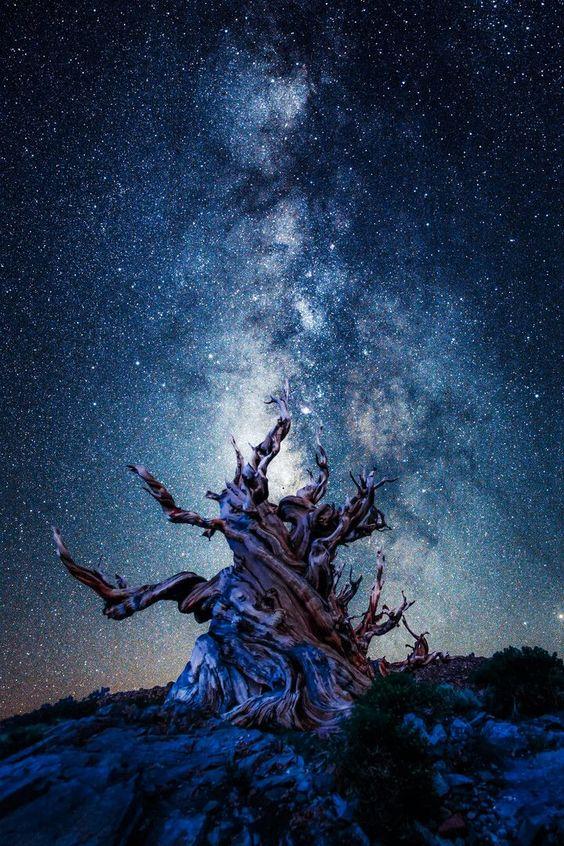アメリカ、カルフォルニア東部にあるホワイト山地の、樹齢4000年以上を超えるブリストルコーン・パインという樹木。