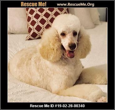 Ohio Poodle Rescue Adoptions Rescue Me Poodle Rescue