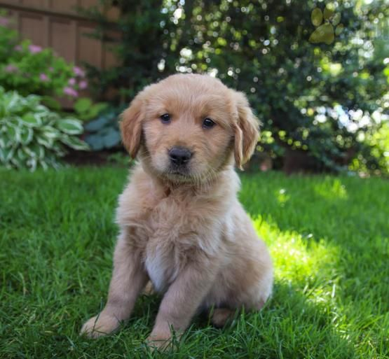 Pin By Ashwini On Cute Dogs Retriever Puppy Puppies For Sale