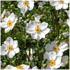Anemone du japon blanche   botanic.com