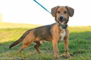 Stanley is an adoptable Beagle Dog in Norman, OK. Hello! Stanley is my name but the humans like to call me 'Stan the Man'. I am 4 years old but I act like a puppy when it comes to playing. I enjoy bei...