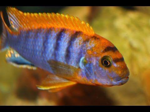 African Cichlid Species Labidochromis Sp Hongi Male And Female Update Video Youtube Cichlids African Cichlid Aquarium African Cichlids