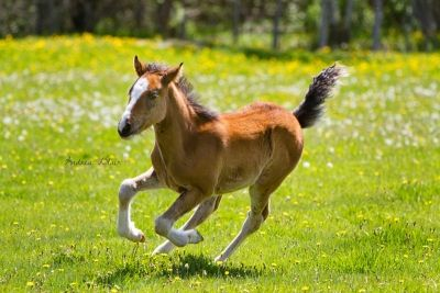 """""""Royal Harmony"""" is  a 2012 Arab/Appendix Clydesdale cross filly with registration pending with AWS. This filly has great confirmation and a ton of chrome."""