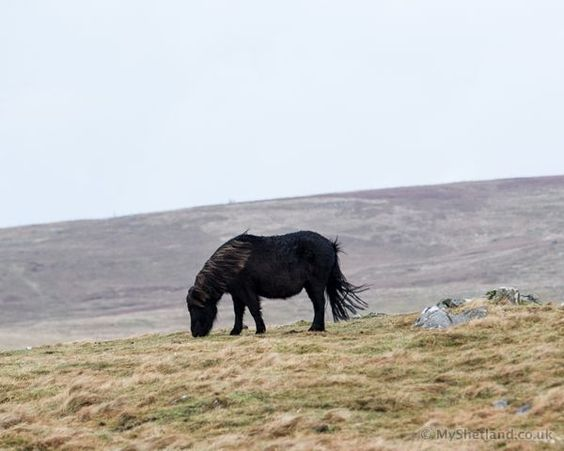 Shetland stallion, http://myshetland.co.uk/borrowed-shetland-ponies/