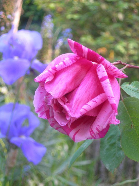 Mme Driout Francia 1902. Bolut & Thirat. Rosaio dalla fioritura precoce con fiori doppi molto profumati color rosa scuro con striature carminio brillante, un po' meno nella fioritura autunnale. Poco conosiuta ma molto affascinante. m. 3 x 2.