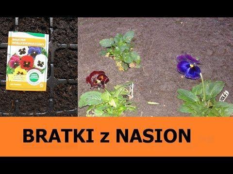 Uprawa Bratkow Z Nasion Jak Przechowac Bratki Przez Zime Youtube Plants