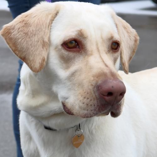 Hi I M Isabelle I M A 8 Month Old Spayed Female Yellow Labrador Retriever Mix Yellow Labrador Retriever Labrador Retriever Puppies Labrador Retriever