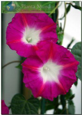 Ipomoea Crimsom rambler - Morning Glory - Ipomoea tricolor - Planta Mundo