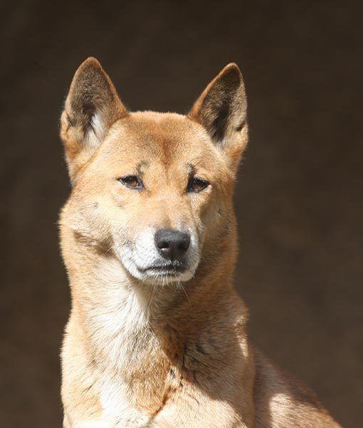 New Guinea Singing Dog Bark