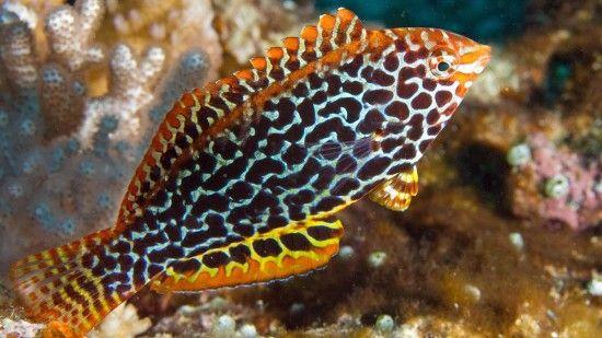 Leopard Wrasse Female Saltwater Fish Wrasses Reef Safe Wrasse Marine Fish Saltwater Tank