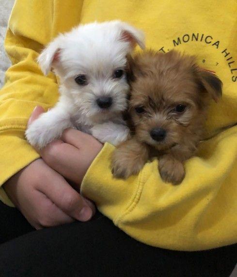 Maltchi Pups Maltese X Chihuahua White Cute Babies Morkie
