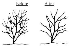 Method & When to Prune Bushes, incldg Types