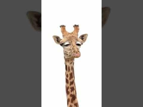 22 Guten Morgen Giraffe Youtube Lustige Giraffe Giraffe Guten Morgen