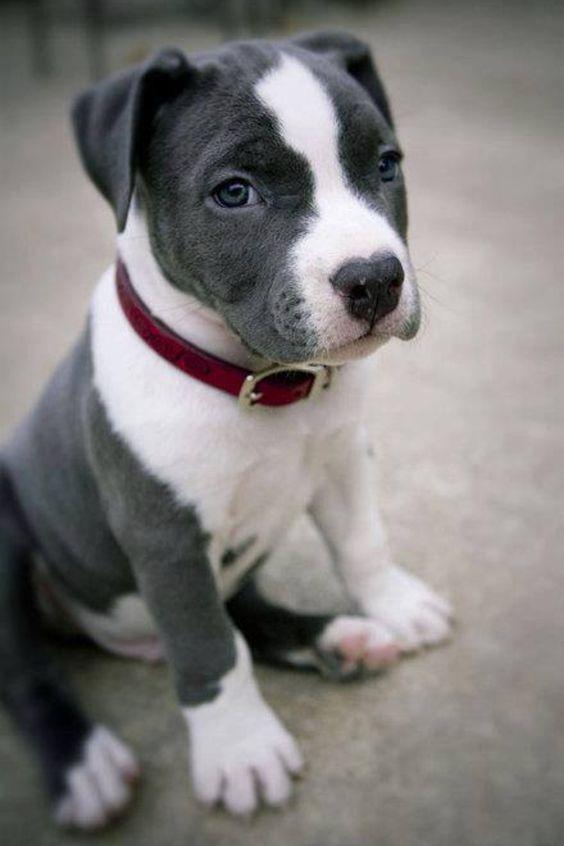 Blue nose Pittie