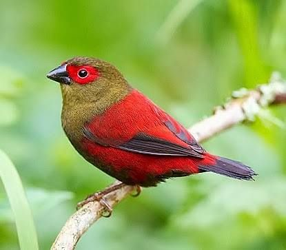 The Red-faced Crimsonwing (Cryptospiza reichenovii) is a common species of estrildid finch found in Africa. Photo Warwick Tarboton
