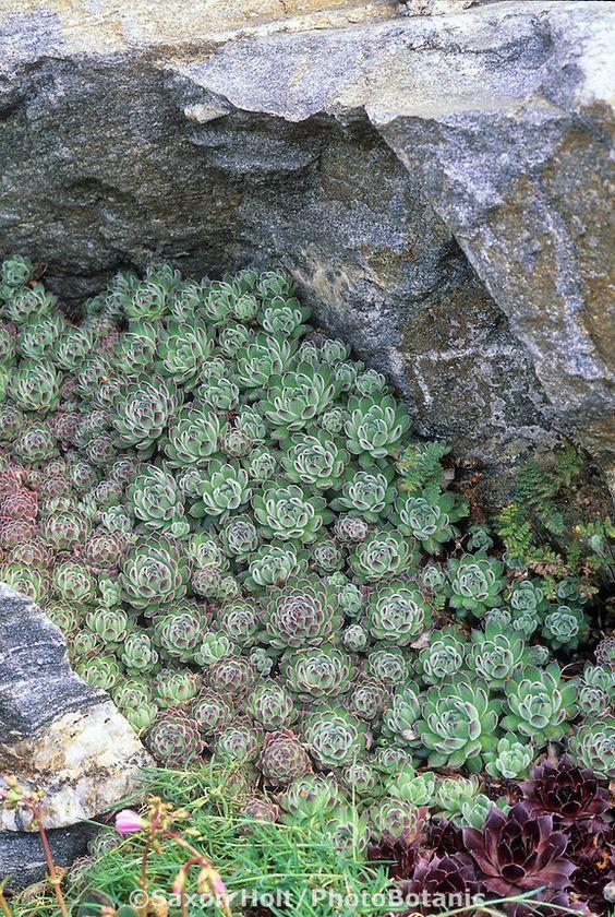 Sempervivum zellebori in Rod Haeni rock garden